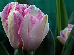 2016-04-12 garden (6)tulip in dew (april-mo) Tags: dewdrops drops spring dew tulip morningdew tulipe springflower rose gouttesdeau dewmacro