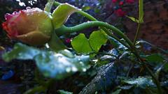P1150884 (omirou56) Tags: november macro green nature rose natur natura drop greece 169 2015 panasoniclumixdmctz40