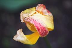 Dying flower (Gondolin Girl) Tags: uk flowers red flower floral yellow garden botanical scotland petals pretty glasgow southside kingspark deadflower walledgarden crumpled