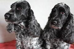 Little Confidential & Golden Moment (excellentzebu1050) Tags: dog pet animal animals closeup farm spaniel doggy cockerspaniel spaniels animalportraits coth5 goldyconfidential2016april