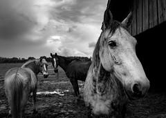 Trio (elea_flore) Tags: horses animals chevaux