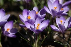 Les Crocus, jolies fleurs du printemps. (hmeyvalian) Tags: canada macro canon eos mark tokina ii qubec 100 laval f28 iridaceae centredelanature crocusvernus zafferanomaggiore