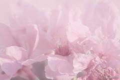 DSC_8485 (Frankie Tseng ()) Tags: park pink flowers sunset sky bw flower silhouette photography 50mm blackwhite nikon outdoor flash sunny tokina cherryblossoms fade nikkor 70300mm tamron 90mm f8 1224mm f28 f4 1870mm bwphotography blackwhitephotography portraitphotography outdoorportrait sb900 yongnuo outdoorportraitphotography yn568