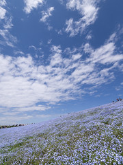 Blue Sky Blue (H.H. Mahal Alysheba) Tags: blue sky plants flower nature japan garden lumix hill wide nemophila lumixg 714mmf40 gx7