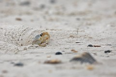 Oh.. can you see me? (Christa Farrar) Tags: sand ghost crab