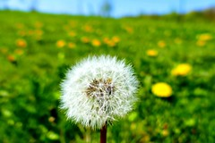 Make a wish (nelescholten) Tags: flower macro nature spring bokeh seed dandelion dreams wishes downy blowball
