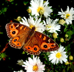 Meadow Argus Butterfly (Junonia villida) (elliott.lani) Tags: flowers orange brown white color colour macro nature beautiful outdoors wings eyes bright vibrant butterflies insects colourful lani allrightsreserved patterned naturephotography homegarden eyespots meadowargus junoniavillida butterflyeyespots elliottlani lanielliott