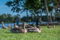 311:365 Chillin' at the park! (Woodlands Photog) Tags: lake bird nature water grass duck woodlands texas mallard waterfowl