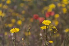 321 (Rafi Moreno) Tags: flowers naturaleza flores primavera yellow daisies canon vintage soft bokeh hipster pale retro desenfoque silvestre margaritas rafi spirnt 365proyect proyecto365fotos