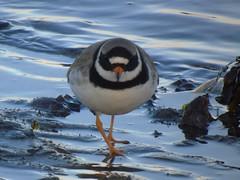 Ringed plover (stuartcroy) Tags: blue brown black bird beach beautiful island bay orkney ringedplover wildbird