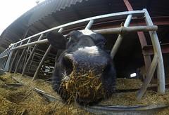 GOPR0 (orbit9000) Tags: kuh cow farm hof gopro goprohero4black
