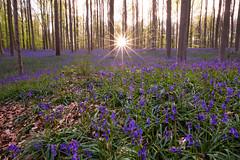 Hyacinths floor (ekidreki) Tags: wood plants sun plant nature lens landscape prime star landscapes woods nikon angle belgium belgique wide belgi fast wideangle sunburst hal 20mm 20 nikkor paysage bos ultra halle hyacinth bois hallerbos sunstar hyacinths d610 ultrawideangle primelens 20mm18g
