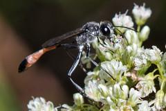 Wasp (Genus Ammophila) (Finatic 's iNaturalist Stream) Tags: ammophila
