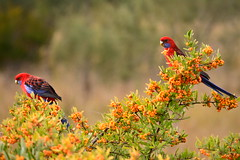 Crimson Rosellas (Luke6876) Tags: bird animal wildlife parrot rosella australianwildlife crimsonrosella