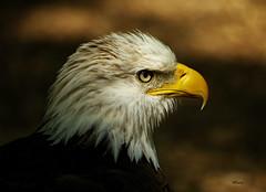 Eagle (MEaves) Tags: portrait bird nature eagle raptor predator avian birdofprey wbs