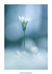 blue... (bertholino fabrice) Tags: blue nature bleu environnement sousbois aildesours fleurssauvages ailsauvage biodiversit nikond600 sigma105macrooshsm fabricebertholino