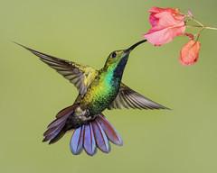 Green-breasted Mango (male) (Eric Gofreed) Tags: costarica hummingbird ranchonaturalista greenbreastedmango