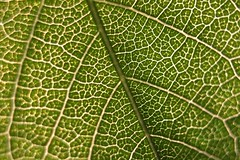 #PicOfTheDay Close-up of leaf (Candidman) Tags: plant green nature closeup leaf natural leaflet