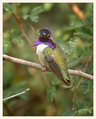 Costa's Hummingbird (gauchocat) Tags: arizonasonoradesertmuseum tucsonarizona