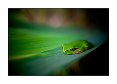 Big Green (kougnoff) Tags: macro nature canon couleurs fullframe grenouille rainette 50mmmacrosigma