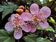 Lipstick tree flower - Achiote or Bijol (sajan-164) Tags: park flower tree dhaka lipstick bangladesh achiote orellana bixa ramna bijol sajan164
