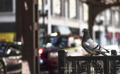 Chicago (Amani Alhjaji) Tags: city people cloud chicago illinois spring gate traffic pigeons alive cloudgate activities