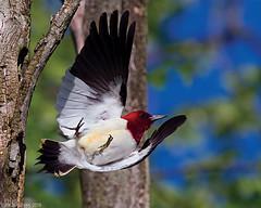 Red Headed Woodpecker- Take Off by Jim Sullivan (jb.sullivan) Tags: county red woodpecker indiana jim off landing take sullivan fairbanks headed ias