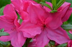 My beautiful pink azalea flowers (Claudia De Facci) Tags: flowers plants flower primavera nature fleur fleurs garden spring jardin natura azalea fiori fiore giardino pianta primtemps azaleaflower azaleaflowers