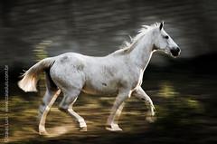 _DSC8834 (Izaias Lus) Tags: brasil caballos photography photographie cavalos equestrian equine nordeste chevaux equino haras equestre garanhunspe