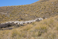 Sheep muster on Mt Arrowsmith Station, Lake Heron, Canterbury High Country, South Island, New Zealand   (Andrew Fear) -48087 (Please contact me at- andrewfear@paradise.net.nz) Tags: dogs station sheep farm farming muster highcountry sheepdogs mustering musterers sheepmuster