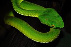 Snake... (Alex Dansai) Tags: snake greatphotographers platinumheartaward greatestphotographers
