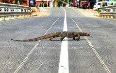 Monitor crossing (Saint-Exupery) Tags: road calle monitor lizard srilanka lagarto