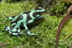 Green and Black Poison Frog, Rana venenosa verdinegra. Dendrobates auratus. (Sergio Bitran M) Tags: costarica frog poison rana 2016 anura venenosa amphibia anfibio dendrobatesauratus greenandblackpoisonfrog ranavenenosaverdinegra