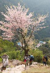 Blossoms and Trekkers (Pooja Pant) Tags: nepal mountains beautiful trek abc annapurna annapurnabasecamp macchapuchre