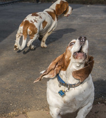 IMG_6173 (BFDfoster_dad) Tags: hound basset