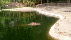 Hipoptamo zoolgico La Aurora (axelenin007) Tags: zoo zoolgico hipopotamo zoologico hipoptamo