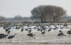 Winter Visitors -- Sandhill Cranes (Grus canadensis); Ladd Gordon Waterfowl Complex, Bernado, NM [Lou Feltz] (deserttoad) Tags: trees snow newmexico bird nature field desert crane behavior refuge wildbird