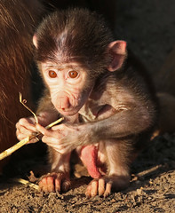 Hamadryas baboon Emmen JN6A8727 (j.a.kok) Tags: baboon emmen baviaan hamadryasbaboon papiohamadryas mantelbaviaan