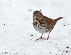 Fox Sparrow (Passerella iliaca) - Odana Road, Madison, Dane County, Wisconsin - January 29, 2016 (quetzal66) Tags: nature wisconsin native wildlife aves madison sparrow avian migrant passerella uncommon foxsparrow passerellailiaca emberizidae passeriformes passerine danecounty winterresident