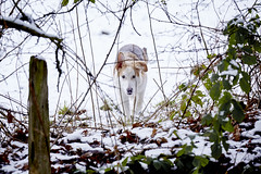 Snow Pup. (Guy Bettison) Tags: winter england dog snow field animal puppy landscape woods shepherd foliage malamute german pup