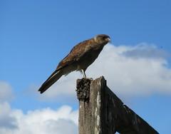 Tiuque (IakiTemuco) Tags: chile la aves temuco chilenas faja araucania tiuque maisan