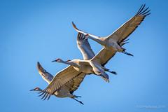 Sandhill Cranes (halladaybill) Tags: flight migration airborn saltonsea sandhillcrane sonnybonosaltonseanationalwildliferefuge