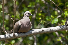 Eared Dove (p_lichfield) Tags: tobago eareddove