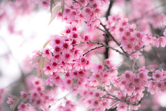 Cherry blossom (Hatoriz) Tags: pink white flower color tree nature floral beautiful japan closeup garden season cherry japanese spring flora soft branch natural blossom background softness blossoms young petal bloom april sakura blossoming blooming