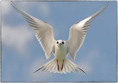 Tern, reprocessed (EXPLORE, Feb 25 2016 #284) (RKop) Tags: florida handheld a550 70300gssm raphaelkopanphotography