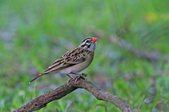 Pin-tailed Whydah (Alan Gutsell) Tags: bird nature birds alan pin texas wildlife finch tailed pintailedwhydah pintailed whydah
