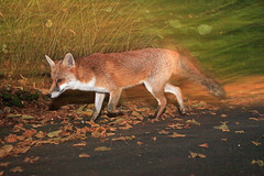 Male urban dog fox on the move, Bristol, Ian Wade (Disorganised Photographer - Ian Wade - Travel, Wil) Tags: city red urban bristol fox