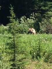 Peter Lougheed PP (Alberta Parks) Tags: outdoors nature ambassador enjoy discover value protect bear trees wildlife grizzly alberta canada kananaskis lougheed peterlougheed provincialpark animal mammal