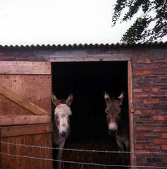 Hello there - Two donkeys (rossendale2016) Tags: camera sleeping two horse pets cute nature animal animals comfortable yard fence out lens happy healthy wire looking box farm donkeys shed working handsome straw posing well friendly lovely fed stable barbed photogenic contented farmyard esting
