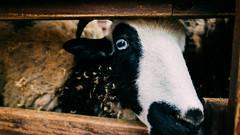 Sheep (stanley yuu) Tags: nature animal sheep natural 28mm taiwan gr   ricoh